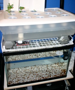 Rafa ponics august 2014 for Aquaponics fish for sale